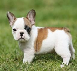 Título do anúncio: Bulldog francês lindos machos