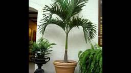 Palmeira veictha mirili