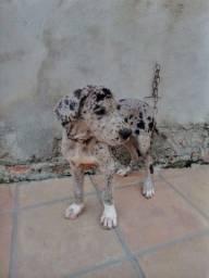Cachorra Dog Alemao