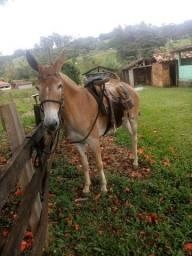 Vendo linda mula,perfeita de morfologia e andamento!muito mansa e pelagem extra!