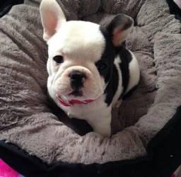Bulldog Frances macho belissimo, venha conferir!