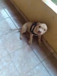 Pitbull macho 3 meses