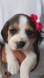 Título do anúncio: Lindas fêmeas de Beagle tricolor a ptonta entrega
