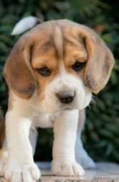 Beagle Filhote 13 Polegadas com Pedigree e Microchip