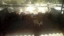 Porcos e galinhas