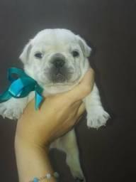 Filhote espetacular de bulldog francês