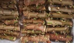 5000 Ramas De Mandioca,aipim,macaxeira P Plantio Mudas