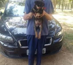 Canil Euro filhotes de Rottweiler lindos prontos em 12x