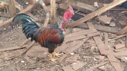 Vendo galinhas, pintinhos e pato