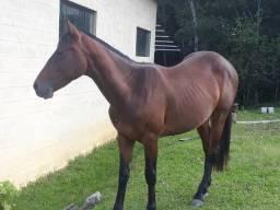 Cavalo Quarto de milha com 2 anos e 4 meses
