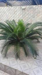Palmeira sagu ou cica