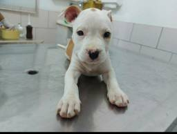 Título do anúncio: Filhotes de american starforshire terrier