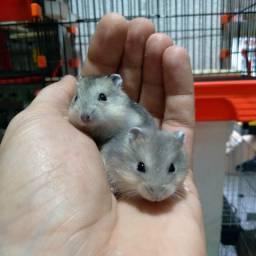 Hamster anao russos