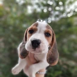 Lindos Beagle Tricolor Filhotes Pedigree Garantia de saúde