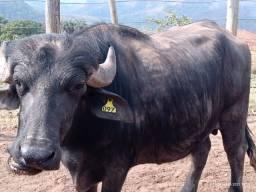 Título do anúncio: Vendo 4 Búfalos gordos