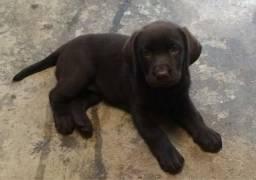 Labrador chocolate femeas