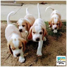 Beagles machos - Vila Canina Serigy