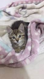 Adoção gato macho