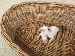Poodle macho e fêmea disponíveis para reserva!