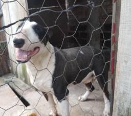 Macho de Bull terrier
