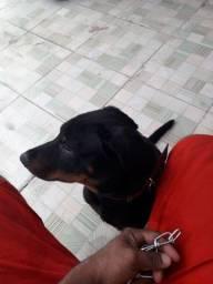 Vendo Rottweiler com 4 meses de idade
