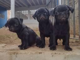 Pug macho com pedigree 10 x 200,00