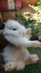 Vendo filhotes de mini Lion hed aceitamos cartões