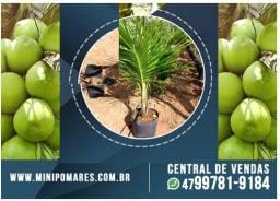 Coqueiro Anão Verde 1.5m (Tronco grosso)