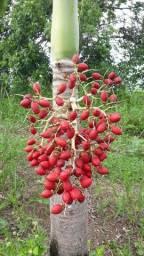 Semente de Palmeira Indiana