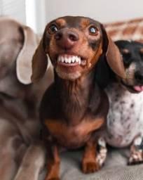 doando cachorro salsicha