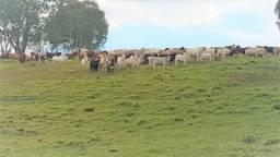 155 alqueires 30km de Matelândia PR todo em pastagem