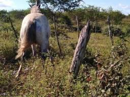 Cavalo místico com quarto de milha