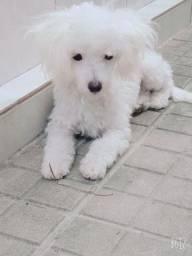 Poodle fêmea, toy