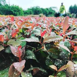 Arrendamos áreas - plantio de eucalipto
