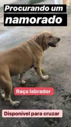 Labrador pura disponível para cruzar