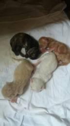 Vendese filhote de gato persa
