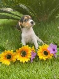 Beagle - Lindos Filhotes