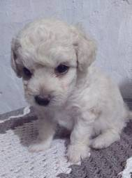 Poodle é no Da Madre Pet Shop