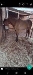 Cavalo bom de charrete,de sela estribado
