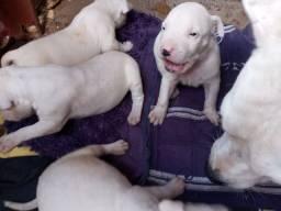 Filhotes de Dogo argentino com Pitbull