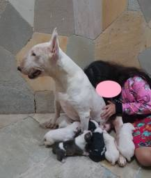 Filhotes Bull Terrier!! Ótima linhagem. Pedigree CBKC
