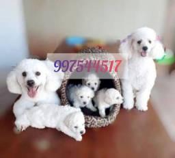 Título do anúncio: Poodle legítimos