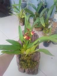 Título do anúncio: Orquidea plantada na placa de madeira