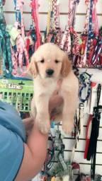 Golde. Retriver e no gold dog pet shop
