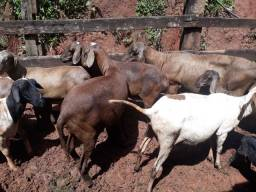 Ovelhas Santa Inês R$ 14,00 o kilo