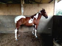 Cavalo Castrado  Sela Mangalarga Marchador