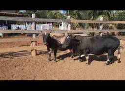 1 mini boi e 2 mini vacas