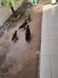 Vende_se pintinhos de patos