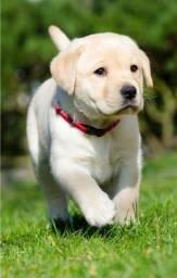 Labrador Macho Filhote! Com Pedigree e Garantia de Saúde