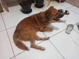 Lindo cãozinho para ADOÇÃO